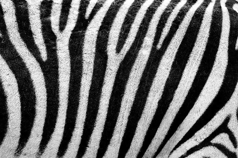 Eternas Rayas: Cebra